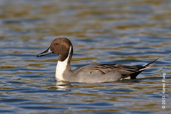 27 Oct: Northern Pintail in Central Park (Meer)