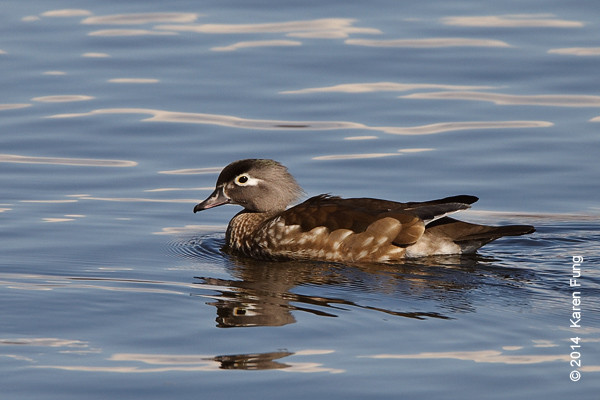 15 March: Female Wood Duck in Central Park