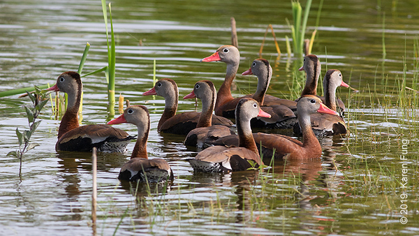 16 June: Black-bellied Whistling-Ducks at Nickerson Beach
