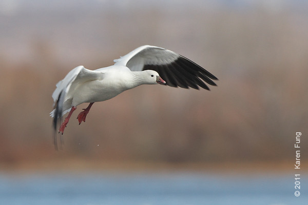 3 December:  Ross's Goose landing at Bosque del Apache, NM