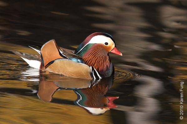14 Nov: Mandarin Duck in Tappan, NJ