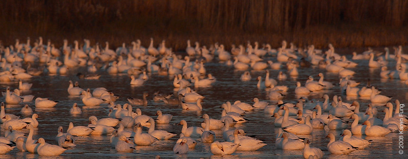 Nov 29th: Snow Geese at dawn at Bombay Hook NWR, Delaware