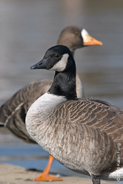 Canada Goose with Greater White-fronted Goose in Eisenhower Park, Long Island (NY)