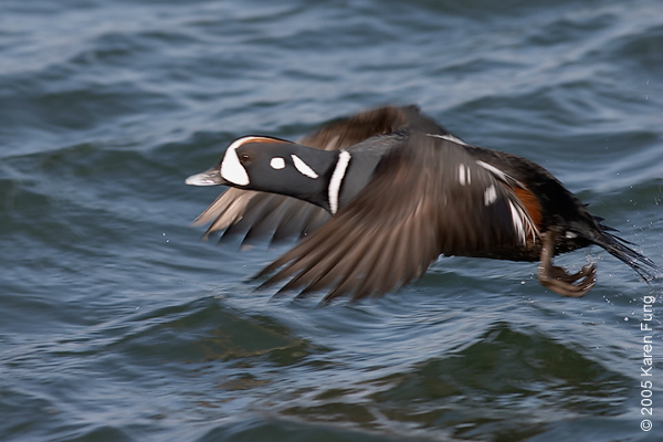 Harlequin Duck at Barnegat Light, NJ