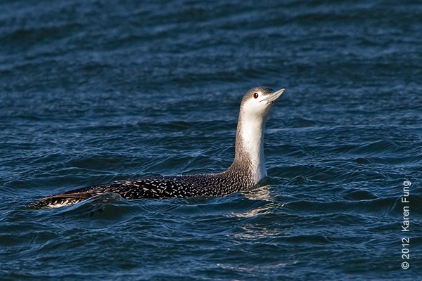 28 January: Red-throated Loon at Barnegat Light