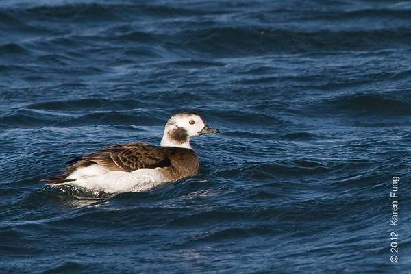 28 January: Female Long-tailed Duck at Barnegat Light