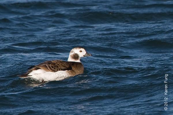 28 January: Female Long-tailed Duck at Barnegat Light