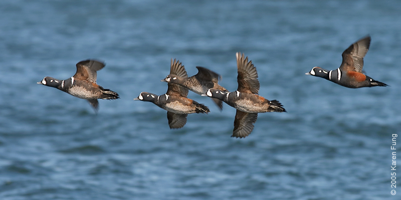 Harlequin Ducks in flight at Barnegat Light, NJ