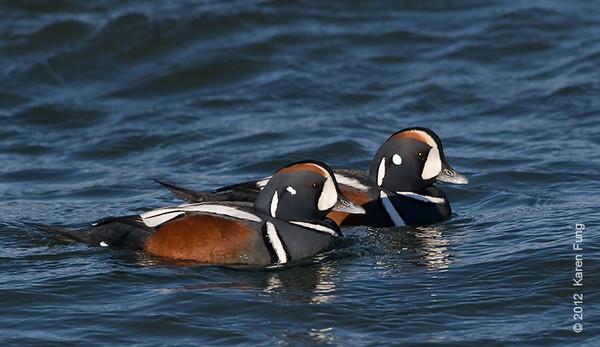 28 January: Harlequin Ducks at Barnegat Light
