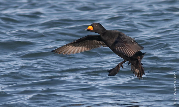 Black Scoter at Barnegat Light, NJ