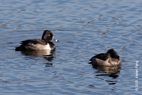 5 January: Two male Ring-necked Ducks on the Reservoir in Central Park.