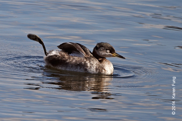 15 March: Red-necked Grebe foot waggle, Central Park<br /> (Reservoir)