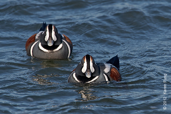 28 January: Harlequin Ducks at Barnegat Light
