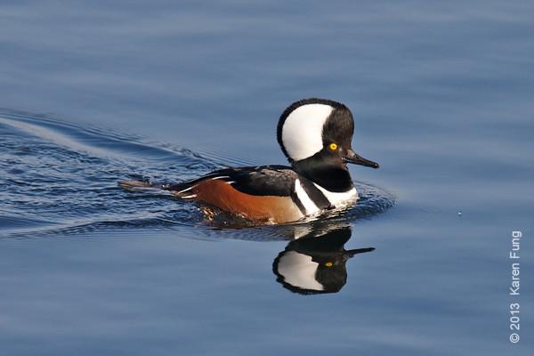 Ducks, Geese, Swans, Loons, Grebes