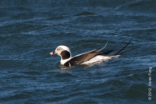 28 January: Male Long-tailed Duck at Barnegat Light