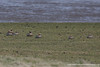 Ruddy-headed Goose and Ashy-headed Goose - Chile
