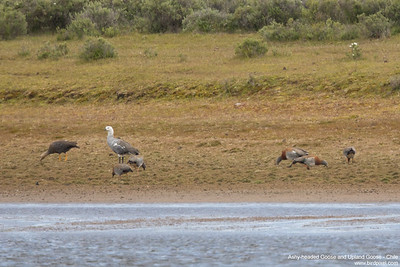 Ashy-headed Goose and Upland Goose - Chile