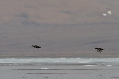Black Scoters in flight - Nome, AK, USA