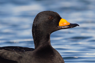 Black Scoter - Richmond Marina, Richmond, CA, USA