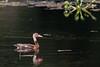Black-bellied Whistling-Duck - Gamboa, Colon, Panama
