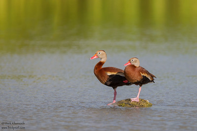 Black-bellied Whistling-Duck - Weslaco, TX, USA