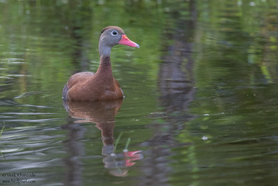 Black-bellied Whistling-Duck - Crooked Tree, Belize