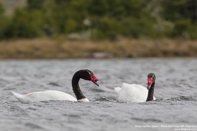 Black-necked Swan - Tierra del Fuego NP, Argentina