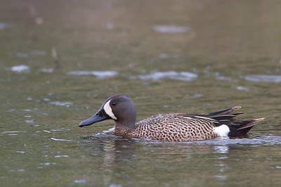 Blue-winged Teal - Anchorage, AK, USA