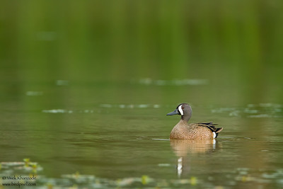 Blue-winged Teal - Weslaco, TX, USA