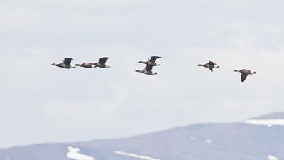 Brant in flight - Record - Nome, AK, USA