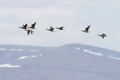Brants in flight - Record - Nome, AK, USA