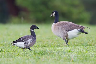 Brant & Canada Goose - Miller Knox Regional Shoreline, Richmond, CA, USA