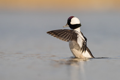 Bufflehead (Male) - Mountain View, CA, USA