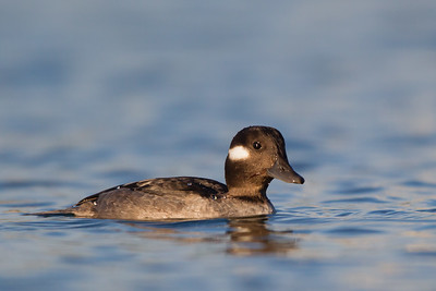 Bufflehead - Female - Richmond Marina, Richmond, CA, USA