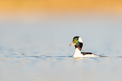 Bufflehead - Mountain View, CA, USA