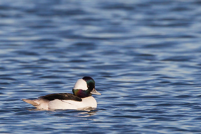 Bufflehead - Male - Bolsa Chica, Huntington Beach, CA, USA