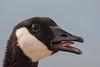 Canda Goose (Portrait) -  San Jose, CA, USA