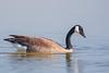 Canada Goose - Alviso, CA, USA