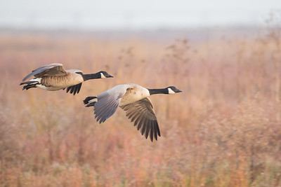 Canada Geese - Mountain View, CA, USA