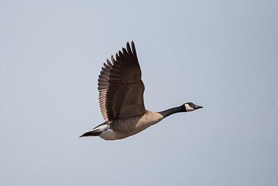 Canada Goose - San Jose, CA, USA