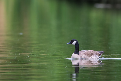 Canada Goose - USA