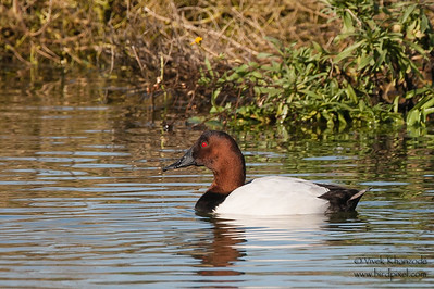 Canvasback - Male - Mountain View, CA, USA