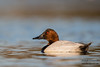 Canvasback - Male - Radio Road, Redwood City, CA, USA