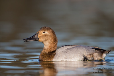 Canvasback - Female - Radio Road, Redwood City, CA, USA