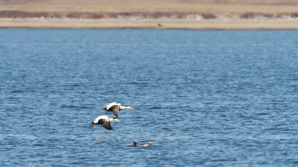 Common Eider - Two breeding males in flight - Record - Nome, AK, USA