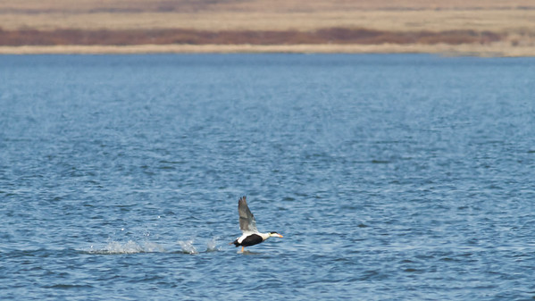 Common Eider - male in flight - Record - Nome, AK, USA