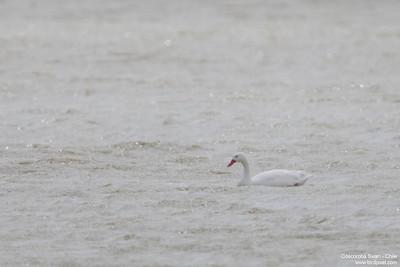 Coscoroba Swan - Chile
