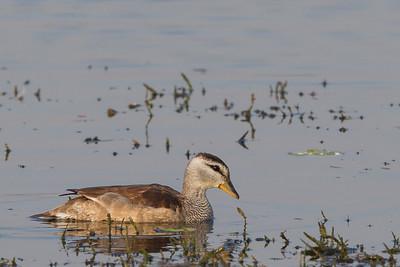 Cotton Pygmy-Goose - Around Koradi Lake, Nagpur, India
