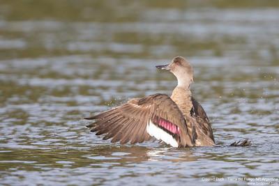 Crested Duck - Tierra del Fuego NP, Argentina