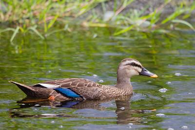 Eastern Spot-billed Duck - Kanagawa Prefecture, Japan